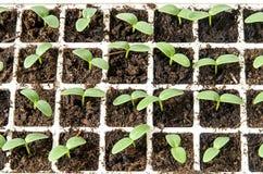 Cucumber seedlings. In plastic greenhouse in soil Royalty Free Stock Photo