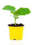 Cucumber seedlings in a pot Stock Image
