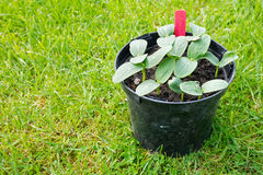 Cucumber Seedlings. Small cucumber plants growing in a plastic pot Stock Photo