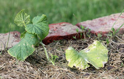 Cucumber seedlings transplanted early in the wild. Stock Photos