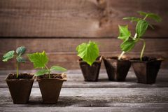 cucumber seedlings on wooden background royalty free stock images