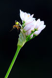 Cucumber spider on a flower Stock Photography