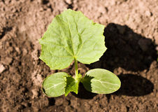 Cucumber sprout Royalty Free Stock Images