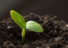 Cucumber sprout Stock Photos