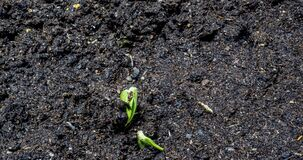 Cucumber sprout sprouts from the ground, time lapse, macro