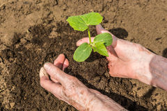 A green young cucumber sprout in woman's  hands. Authentic concept. Hands holding and planting young green plant, sprout, close up Stock Photos