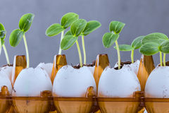 Cucumber sprouts in an eggshell. Cucumber sprouts in an eggshell placed in an egg pack royalty free stock images
