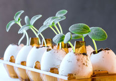 Cucumber sprouts in an eggshell. Cucumber sprouts in an eggshell placed in an egg pack Stock Photos