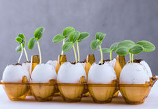 Cucumber sprouts in an eggshell. Cucumber sprouts in an eggshell placed in an egg pack Royalty Free Stock Photos