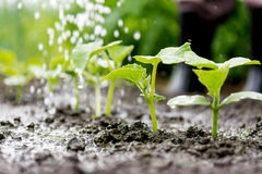 Cucumber sprouts in the field and farmer  is watering it Stock Photo