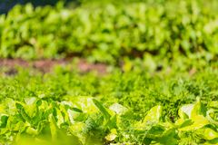 Cucumber sprouts growing in ecologic garden Royalty Free Stock Images