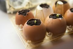 Cucumber sprouts in the shell and egg containers. Cucumber sprouts grow in the eggshell on the windowsill in the early spring Stock Image
