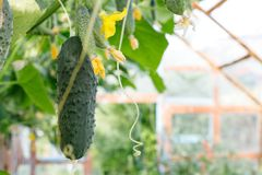 Cucumber stems with fruits of varying degrees of maturity, fading yellow flowers, lush foliage, curly tendrils grow in the. Cucumbers grow in the greenhouse. The royalty free stock photos