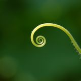 Cucumber tendril spiral universe Stock Photo