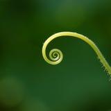 Cucumber tendril spiral universe stock photo