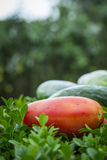 Cucumber and tomatoe in garden Royalty Free Stock Image