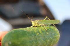 The grasshopper sitting on a big cucumber. Cucumber is too big to fly with. Grasshopper do not khow what to do... - too big bomb or too small bomber royalty free stock photo