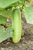 Cucumber on tree Stock Photos