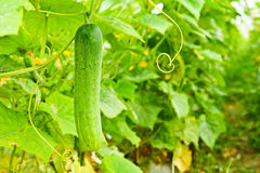 Cucumber on tree Royalty Free Stock Photography