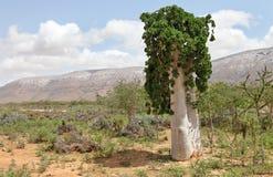 Cucumber tree Stock Photos