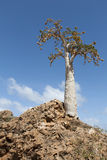 Cucumber Tree (dendrosicyos socotranum). Socotra Island, Yemen royalty free stock photo