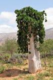 Cucumber tree royalty free stock photo