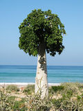 Cucumber tree, Soqotra. Cucumber tree, endemic plant of Soqotra island, Yemen Royalty Free Stock Photos