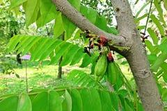 Cucumber Tree or Tree Sorrel, a fruit-bearing tree. Sour fruit use as food ingredient stock photos