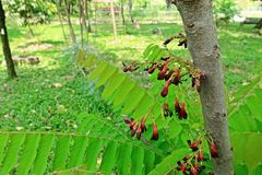 Cucumber Tree or Tree Sorrel, a fruit-bearing tree. Sour fruit use as food ingredient royalty free stock photography