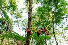 Cucumber Tree or Tree Sorrel, a fruit-bearing tree. Sour fruit use as food ingredient royalty free stock photo