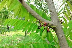 Cucumber Tree or Tree Sorrel, a fruit-bearing tree. Sour fruit use as food ingredient royalty free stock image