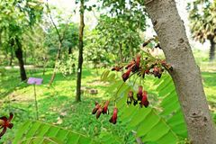 Cucumber Tree or Tree Sorrel, a fruit-bearing tree. Sour fruit use as food ingredient stock photography