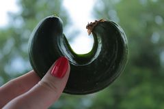Cucumber of unusual shape in a closeup hand. Cucumber of unusual shape in a close-up hand royalty free stock image