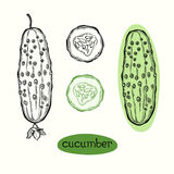 Cucumber. Vector illustration on white background . Stock Photos