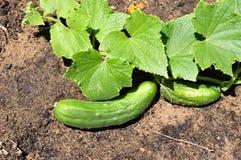 Cucumber in the vegetable garden. Cucumbers growing in the vegetable garden Royalty Free Stock Photo