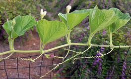 Cucumber vine Stock Photo