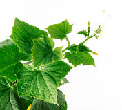 Cucumber vine, young plant grows and develops Royalty Free Stock Images