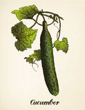 Cucumber vintage illustration vector Stock Image