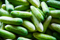 Cucumber is a widely cultivated plant in the gourd family Cucurb Royalty Free Stock Images