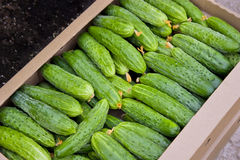 Cucumbers. A lot of cucumbers in the boxes in a hothouse Royalty Free Stock Image