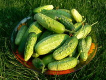 Cucumbers. Harvest - plate on the grass Royalty Free Stock Photo