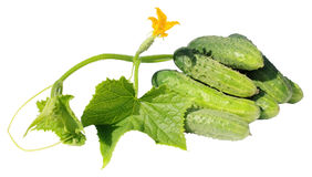 Cucumbers Royalty Free Stock Photo