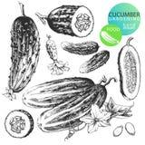 Cucumbers vector illustration