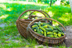 Cucumbers in basket Royalty Free Stock Photos