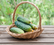 Cucumbers in a basket on  background of nature Royalty Free Stock Images