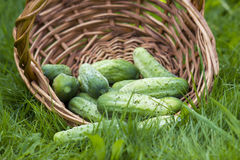 Cucumbers in a basket Royalty Free Stock Photo