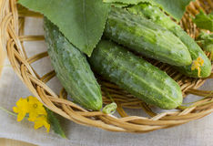 Cucumbers in a basket. Fresh cucumbers from a garden, useful vegetable, contains minerals and vitamins. It is used in cookery and cosmetology Stock Photo