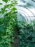 Cucumbers and bell peppers inside greenhouse Stock Photography