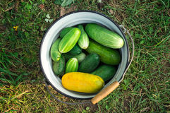 Cucumbers in a bucket Royalty Free Stock Photo