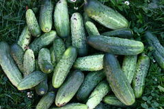 Cucumbers. Bunch of fresh pickled home grown organic cucumbers laying on the grass Royalty Free Stock Photos